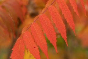 sumac leaf in autumn